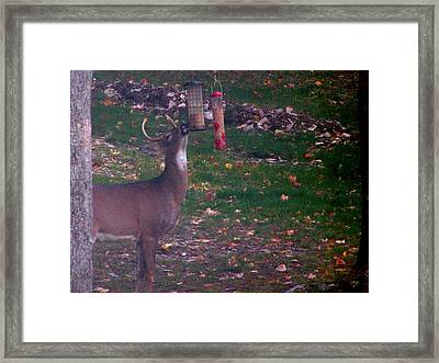 Buck Checking Out Birdseed Framed Print by Lila Mattison