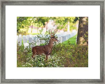 Buck In A Bush Framed Print by Bill Tiepelman