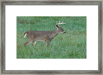 Buck In Cades Cove Framed Print