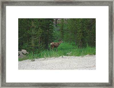 Buck In Velvet Framed Print