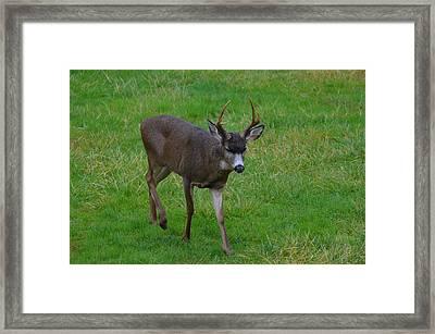 Buck Framed Print by Jeri lyn Chevalier