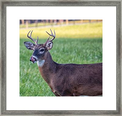Buck Licking His Chops At Cades Cove Inside Of The Great Smoky Mountains National Park Framed Print by Peter Ciro