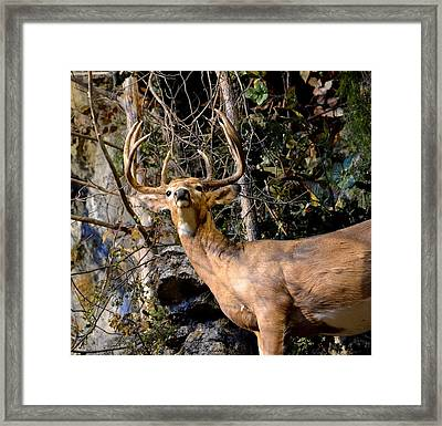 Buck On A Ridge Framed Print
