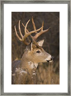 Buck Portrait Framed Print