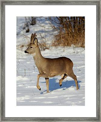 Buck Roe Deer  Framed Print