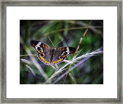 Buckeye Beauty Framed Print by Barry Jones