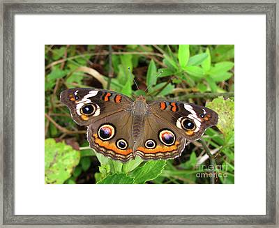 Framed Print featuring the photograph Buckeye Butterfly by Donna Brown