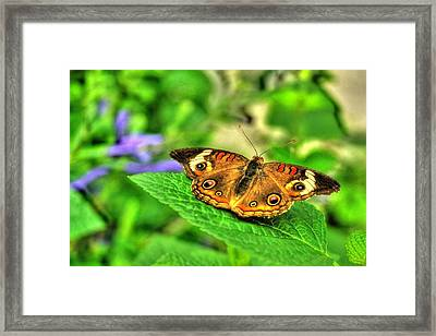Framed Print featuring the photograph Buckeye Butterfly by Ed Roberts