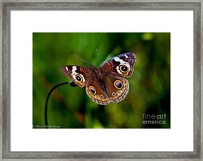 Framed Print featuring the photograph Buckeye Butterfly by Mitch Shindelbower