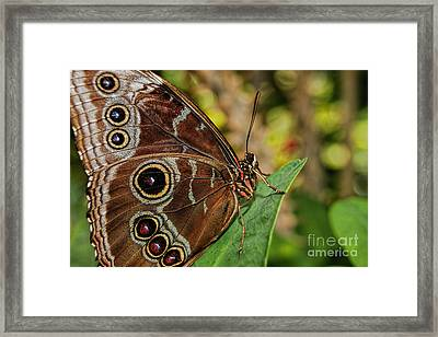 Framed Print featuring the photograph Blue Morpho Butterfly by Olga Hamilton