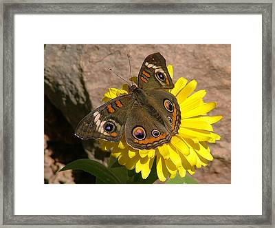 Buckeye Butterfly On Yellow Flower And Rock - 101 Framed Print