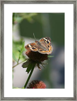 Framed Print featuring the photograph Buckeye by Karen Silvestri