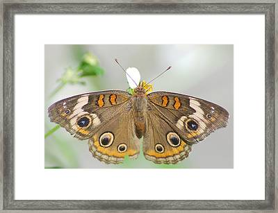 Buckeye Framed Print