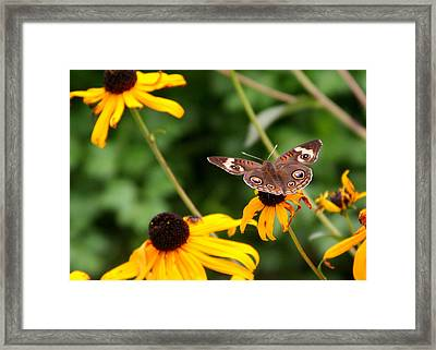 Buckeye On Brown-eyed Susan Framed Print