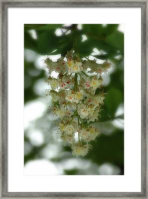 Buckeye Tree Bloom Framed Print