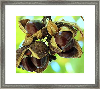 Buckeyes Framed Print by Rosanne Jordan