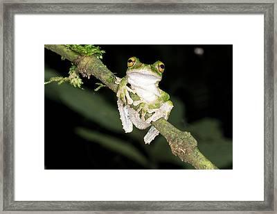Buckley S Slender-legged Treefrog Framed Print