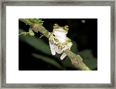Buckley S Slender-legged Treefrog Framed Print by Dr Morley Read