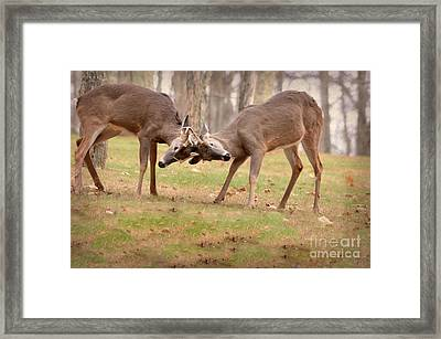 Framed Print featuring the photograph Bucks Fighting 1 by Brenda Bostic