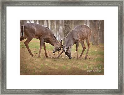 Framed Print featuring the photograph Bucks Fighting 2 by Brenda Bostic