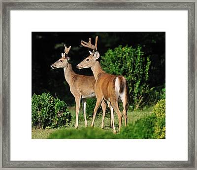 Bucks In Silk Framed Print by Angel Cher