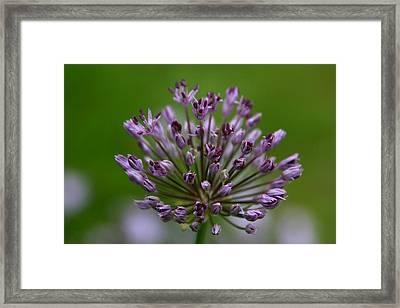 Budding Allium Framed Print