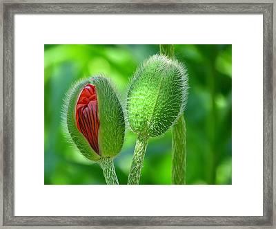 Budding Poppies - Togetherness Framed Print
