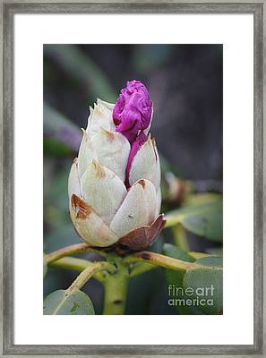 Budding Rhododendron Framed Print