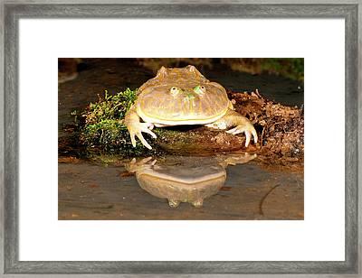 Budgett's Frog, Lepidobatrachus Asper Framed Print by David Northcott