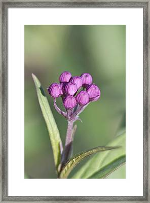 Buds Of The Milkweed Framed Print by Kathryn Whitaker