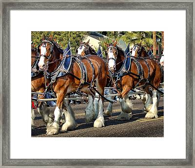 Budweiser Clydesdales Framed Print by Jon Berghoff