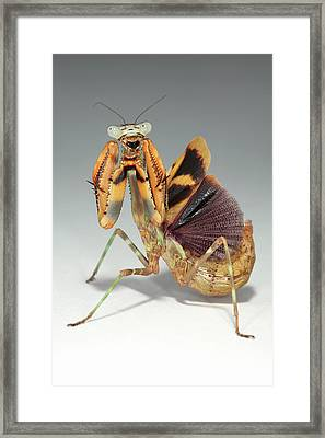 Budwing Mantis (parasphendale Agrionina) Framed Print by Tomasz Litwin