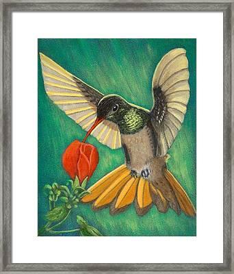 Buff-bellied Hummingbird Framed Print