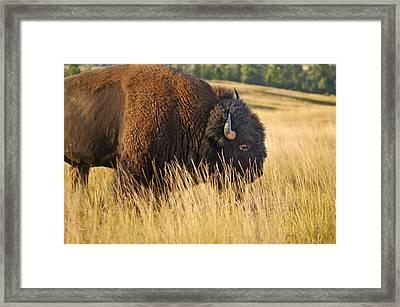 Buff Buffalo Montana Painted Framed Print
