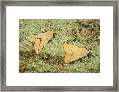 Buff Ermine Moths Framed Print