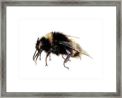 Buff-tailed Bumblebee Framed Print