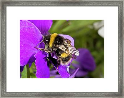 Buff-tailed Bumblebee On A Pansy Framed Print by Bob Gibbons