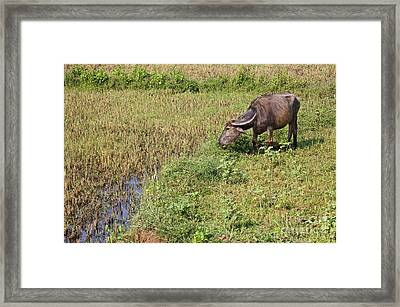 Buffalo And Rice Crop In Orissa India Framed Print by Robert Preston