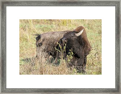 Buffalo Backscratch Framed Print