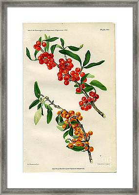 Buffalo Berry Framed Print by  Department of Agriculture