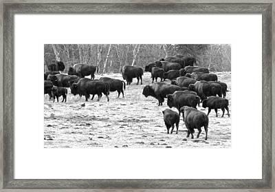 Buffalo Framed Print by Brian Sereda