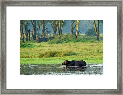 Buffalo Crossing Flooded Area Of Lake Framed Print by Adam Jones