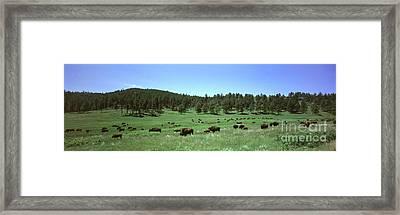 Buffalo, Custer State Park Framed Print