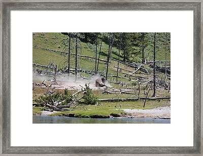 Buffalo Dust Bath Framed Print