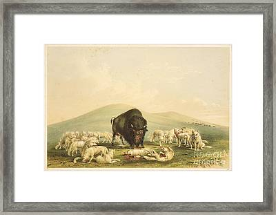 Buffalo Hunt White Wolves Attacking Buffalo Bull Framed Print by Celestial Images