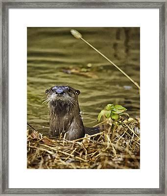 Buffalo National River Otter  Framed Print by Michael Dougherty