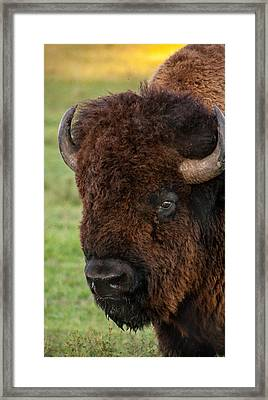 Buffalo Portrait Framed Print