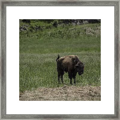 Buffalo Squared Framed Print by Teresa Mucha