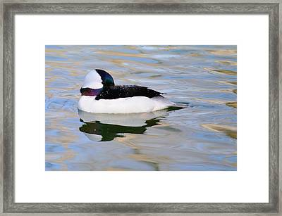 Bufflehead Drake  Framed Print