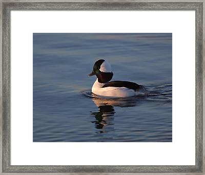 Bufflehead Duck Framed Print